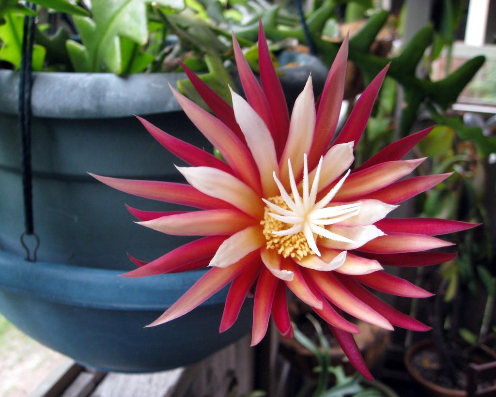 Cactus tropical cu flori nocturne