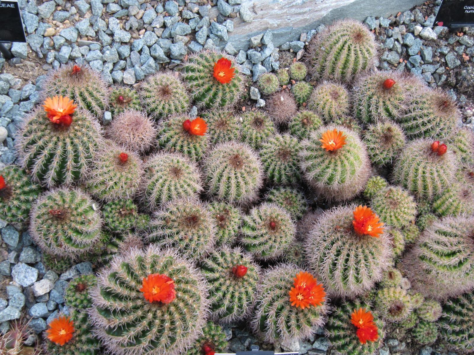 Colonie de cactusi