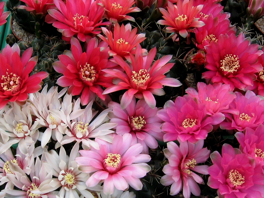 Flori delicate si spectaculoase la cactusi nepretentiosi