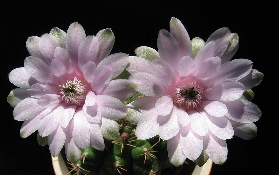 Flori diafane