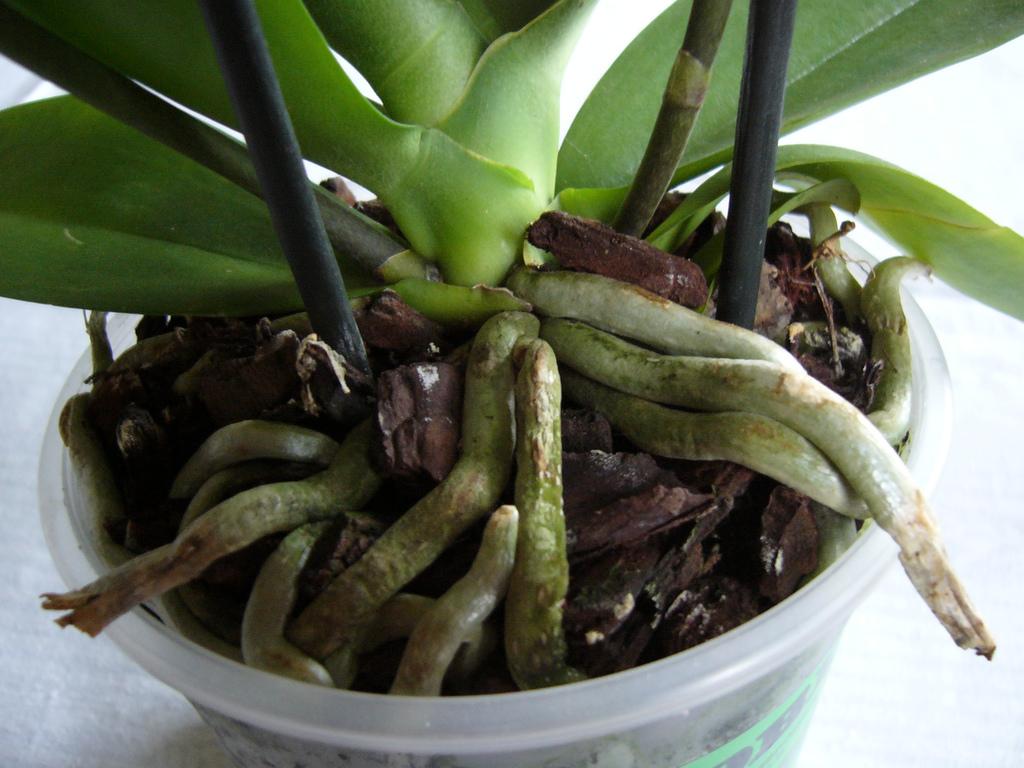 Radacini de orhidee
