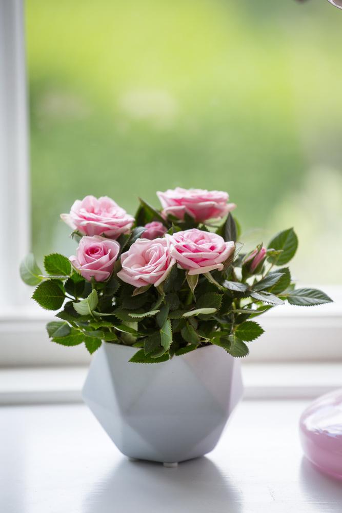 Trandafir la ghiveci