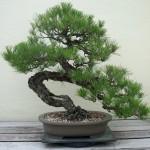 6 Întrebări și răspunsuri despre bonsai şi bonsaiști