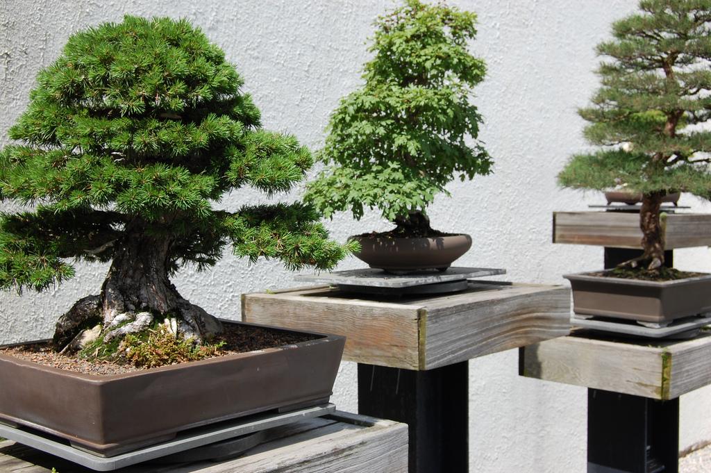Bonsai expusi pe mese speciale