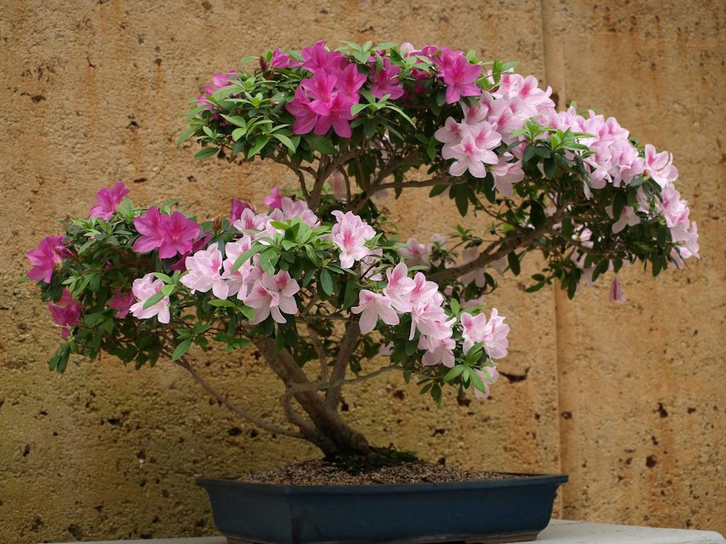 Bonsai obtinut din Azalee