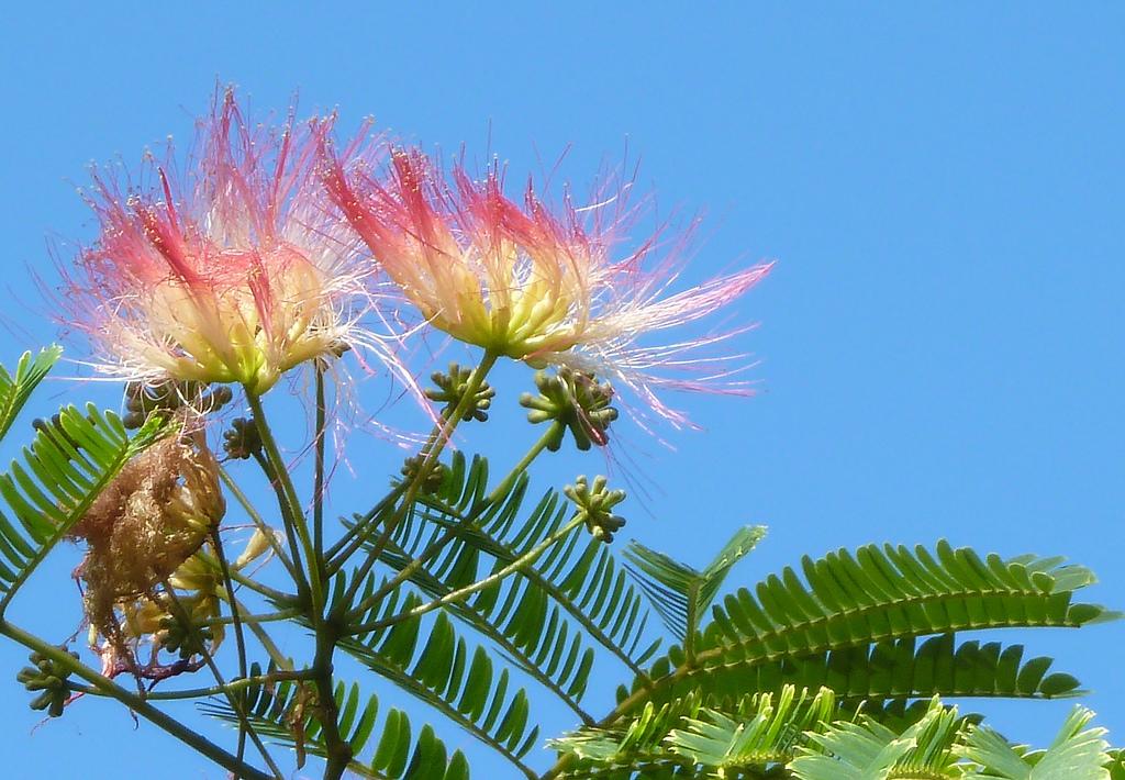 flori arbore de matase