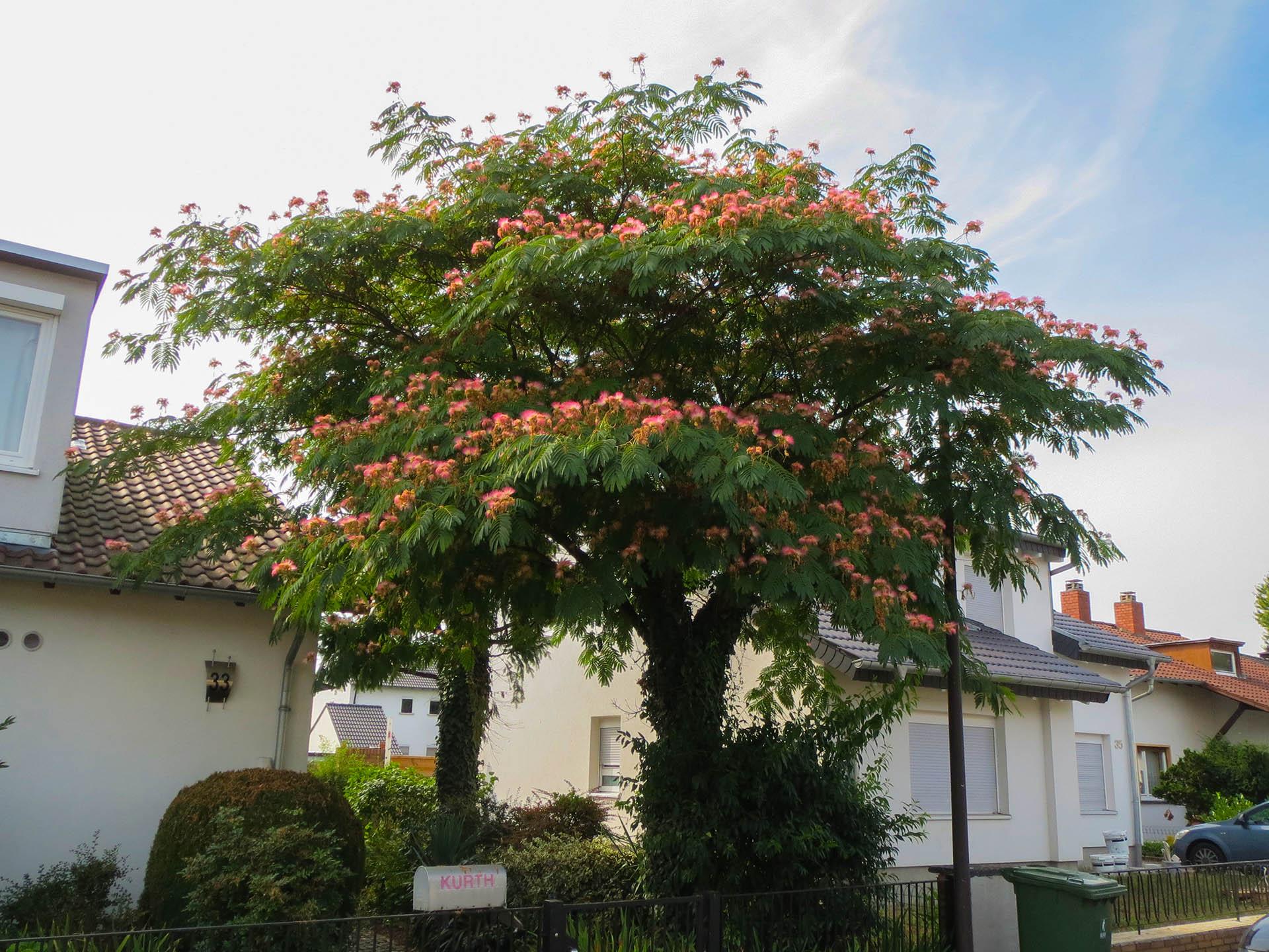 arbore de matase 4-5 metri