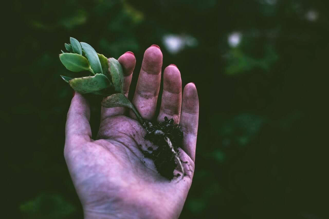 Plantă sugativă