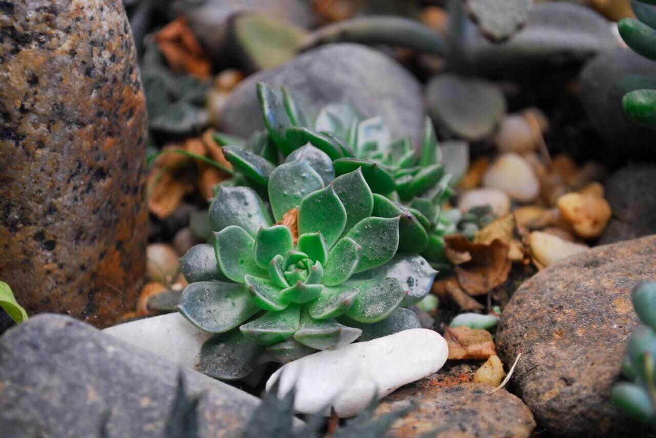 planta suculenta Echeveria în aranjament exterior