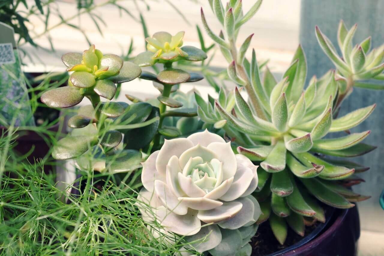 Aranjament din plante suculente
