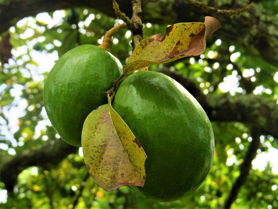 Fructul de avocado
