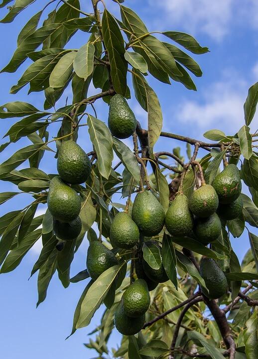 Copac mare de avocado