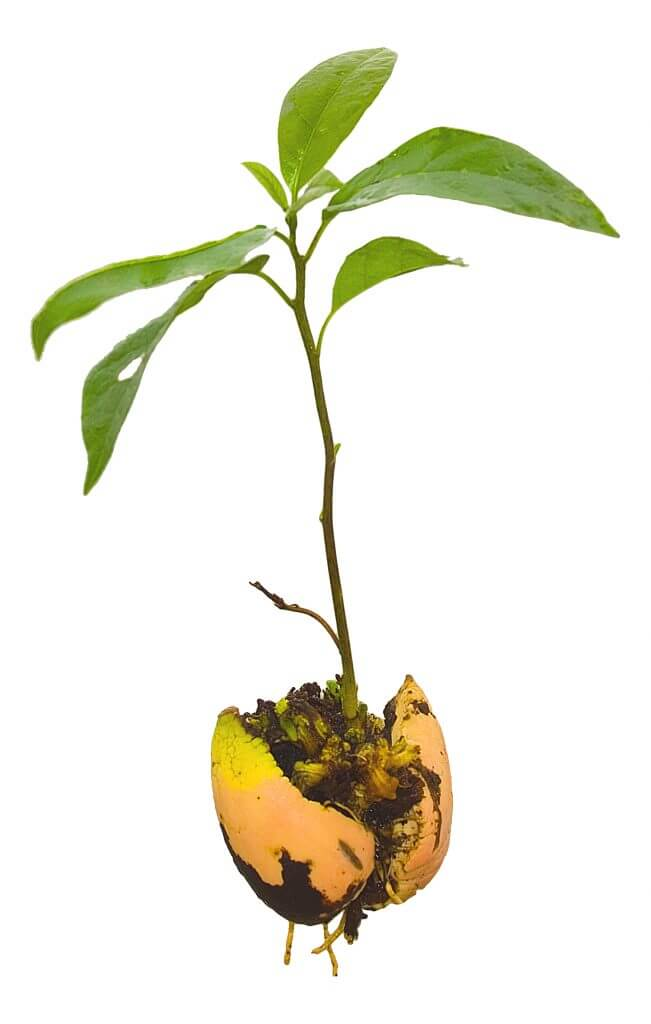 Germinare avocado