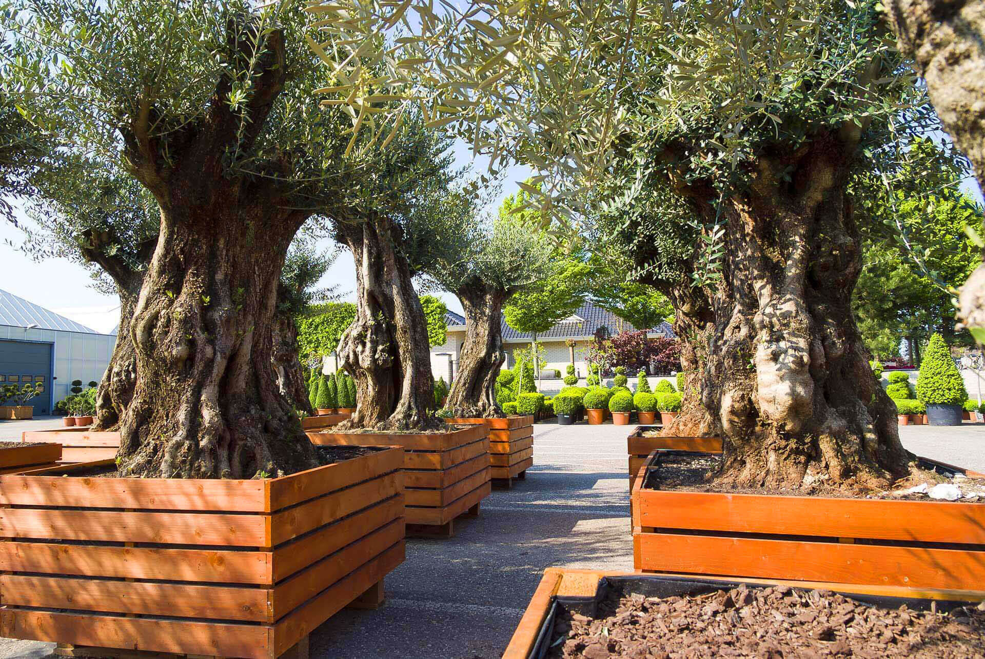 Maslin arbust de interior-exterior