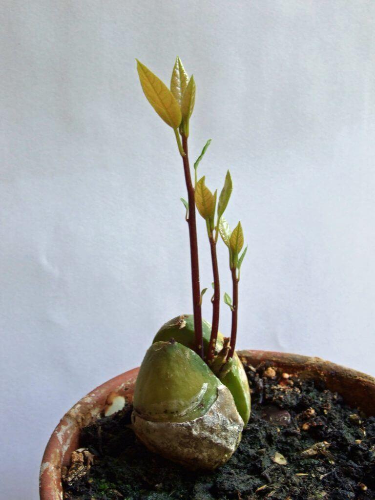 Sâmbure germinat gata de plantare
