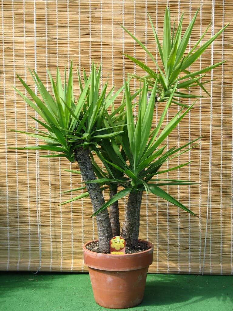 Yucca Gloriosa ideal pentru decorari interioare