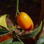 Pom de kumquat