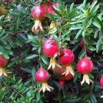 Pomi fructiferi pentru interior: Totul despre îngrijirea lor