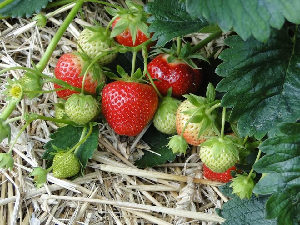 Creșterea căpșunilor