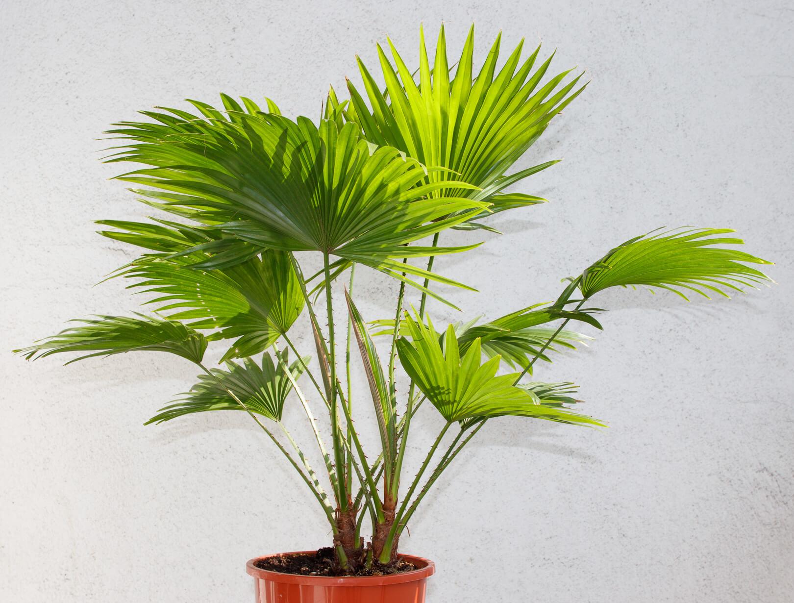 Palmierul livistona în ghiveci