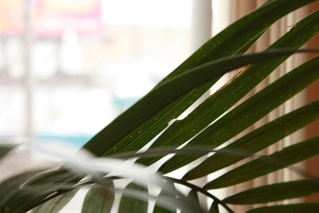 Palmierul areca