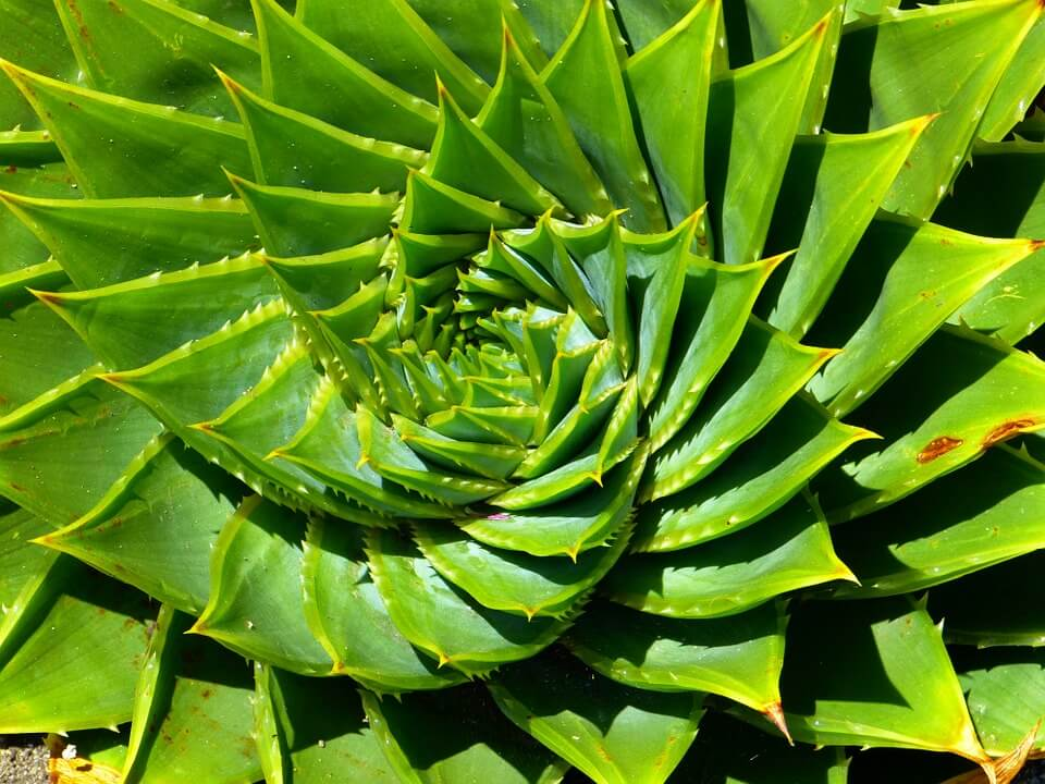 Aloe Aristata de culoare verde deschis