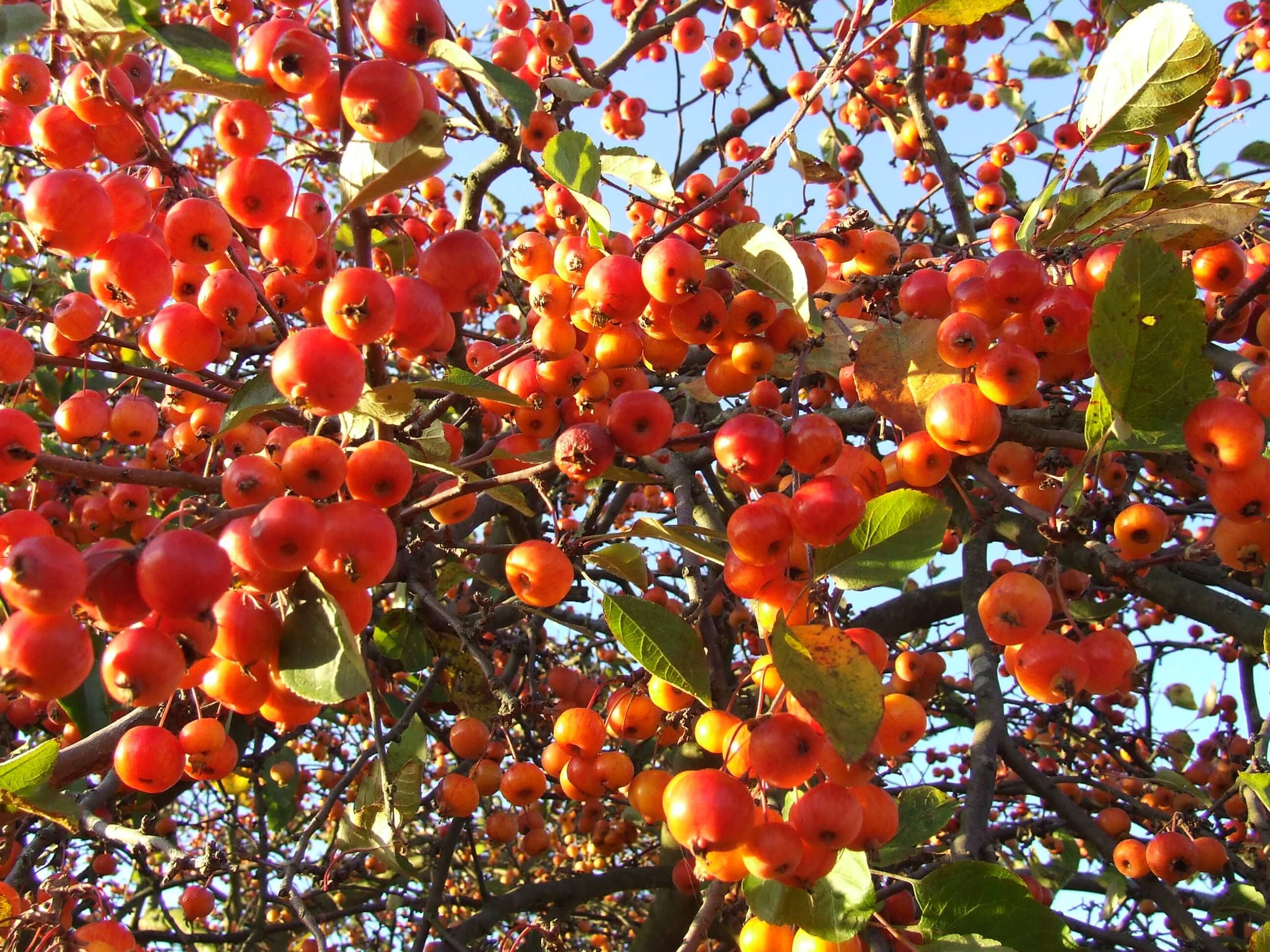 Măr ornamental