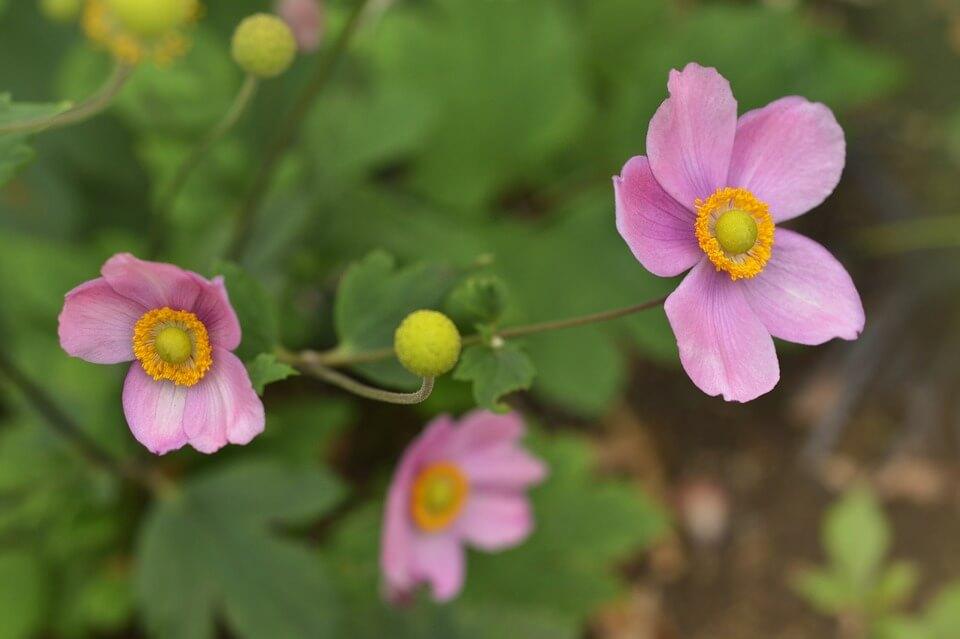 Anemone roz japoneze in gradina