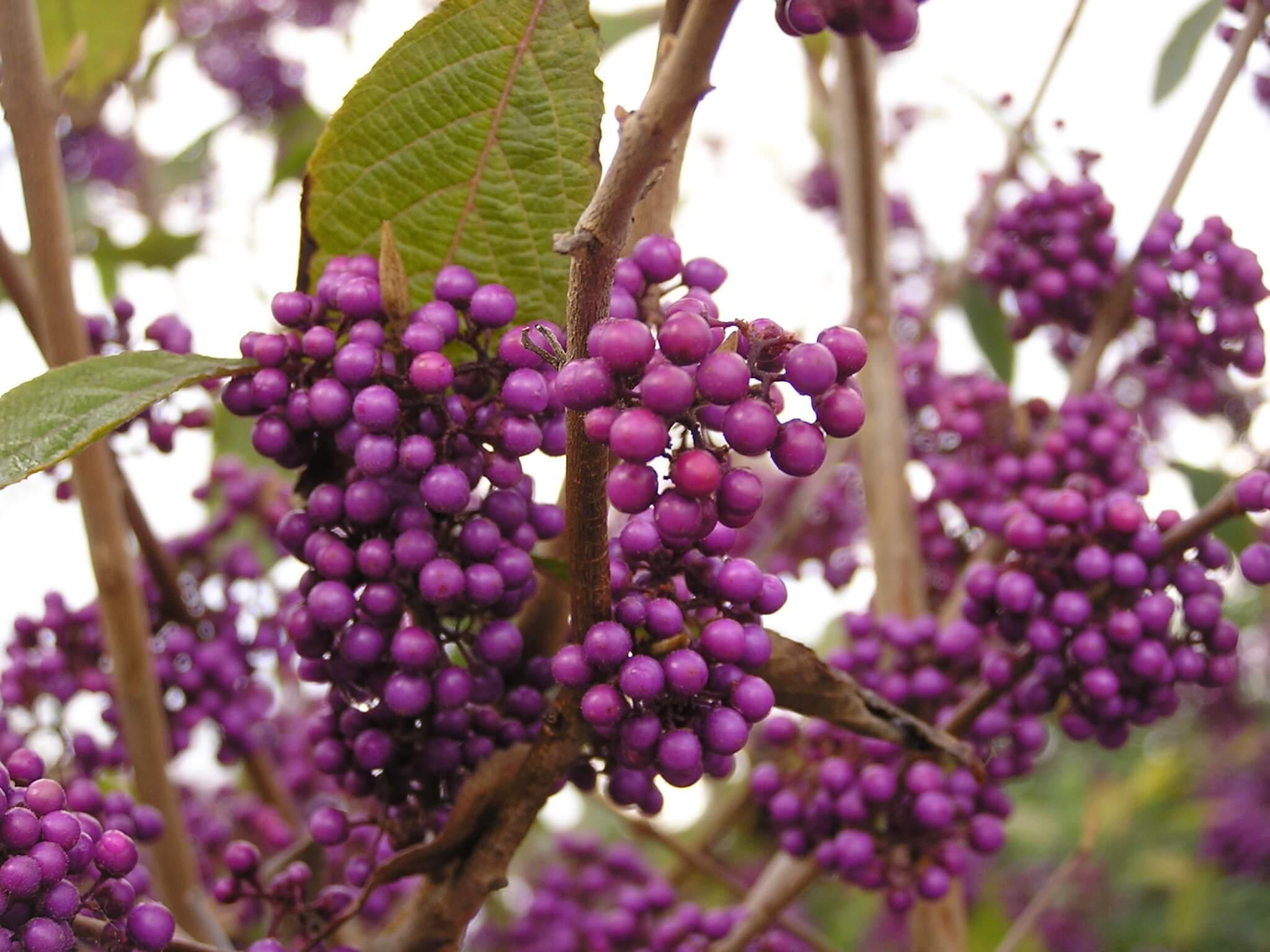 Callicarpa bodinieri violet