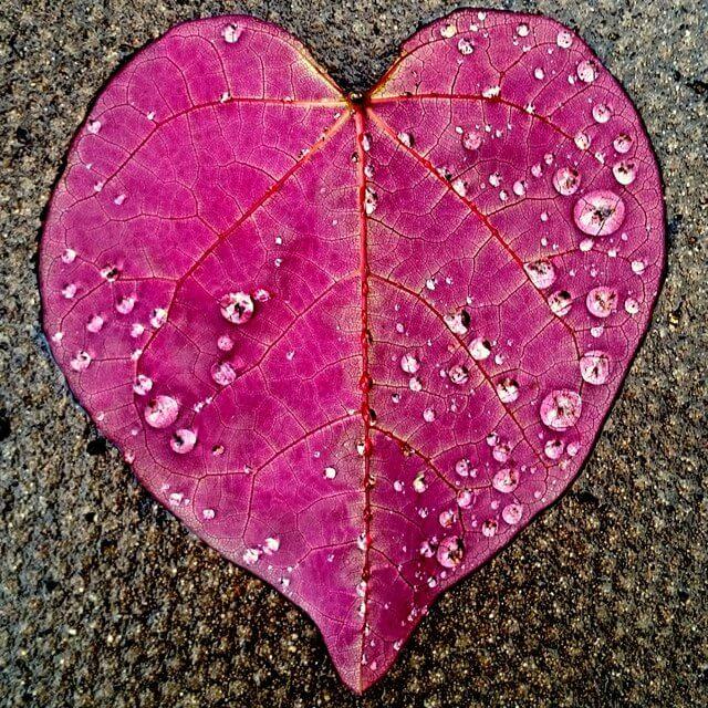 Frunză cercis canadensis în formă de inimă