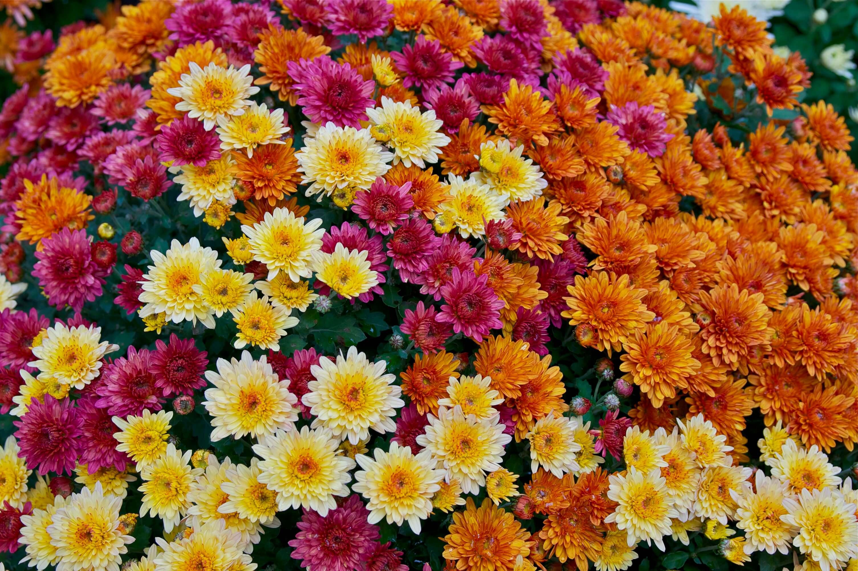 Crizanteme multicolor
